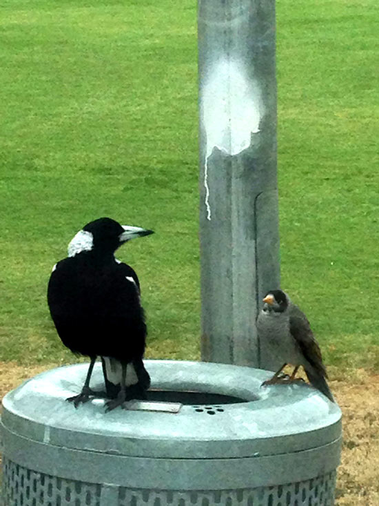 magpie-and-friend-2